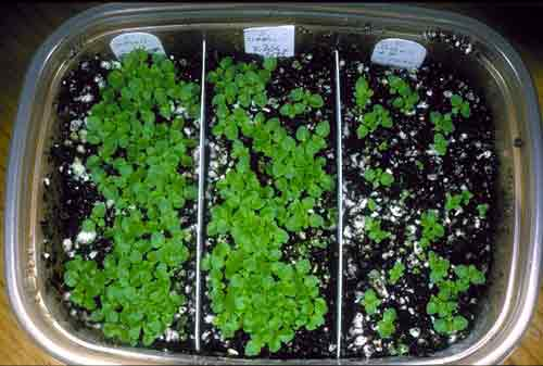 Gesneriad Seedlings