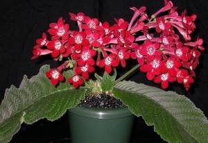 Streptocarpus 'Dale's Scarlett Macaw' hybridized by Dale Martens.