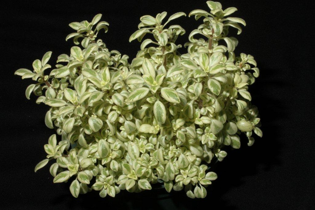 37A-Streptocarpus saxorum-JMH
