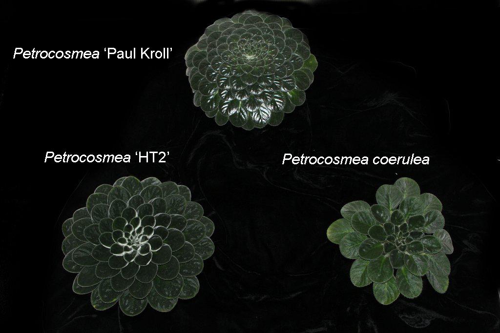 47-Petrocosmea_Collection-label-JMH