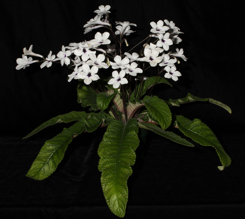 Streptocarpus  'Black Tie Affair'