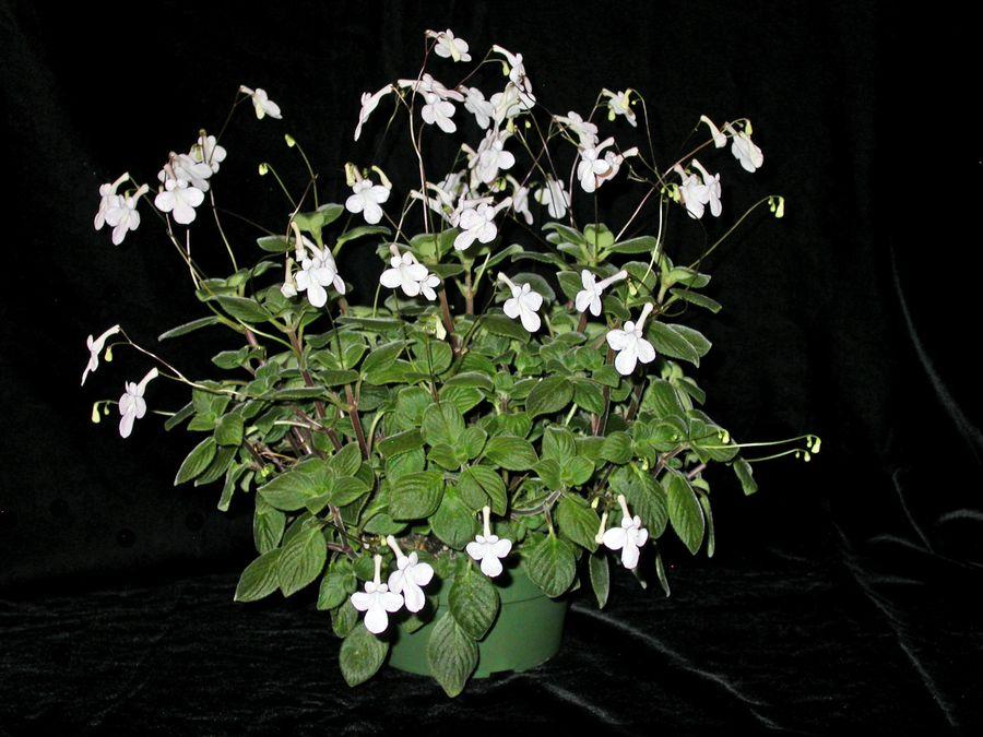 2014 Convention - Class 29 <i>Streptocarpus</i>, subgenus <i>Streptocarpella</i>