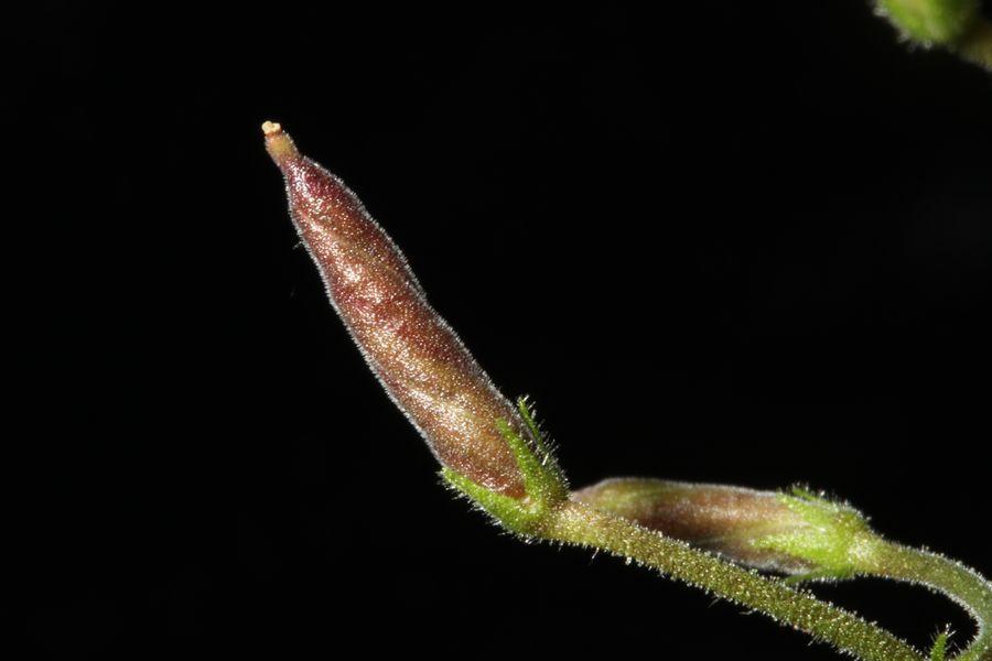 2014 Convention - Class 30 <i>Streptocarpus</i>, subgenus <i>Streptocarpus</i>, species -  Special Award for Best Gesneriad Exhibiting Fruit