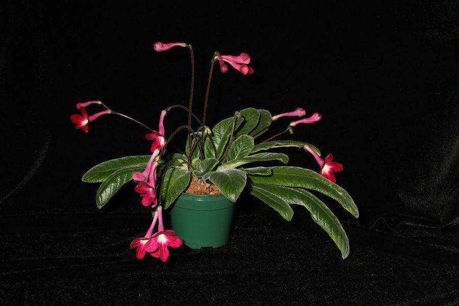 2014 Convention - Class 31B <i>Streptocarpus</i>, subgenus <i>Streptocarpus</i>, hybrids