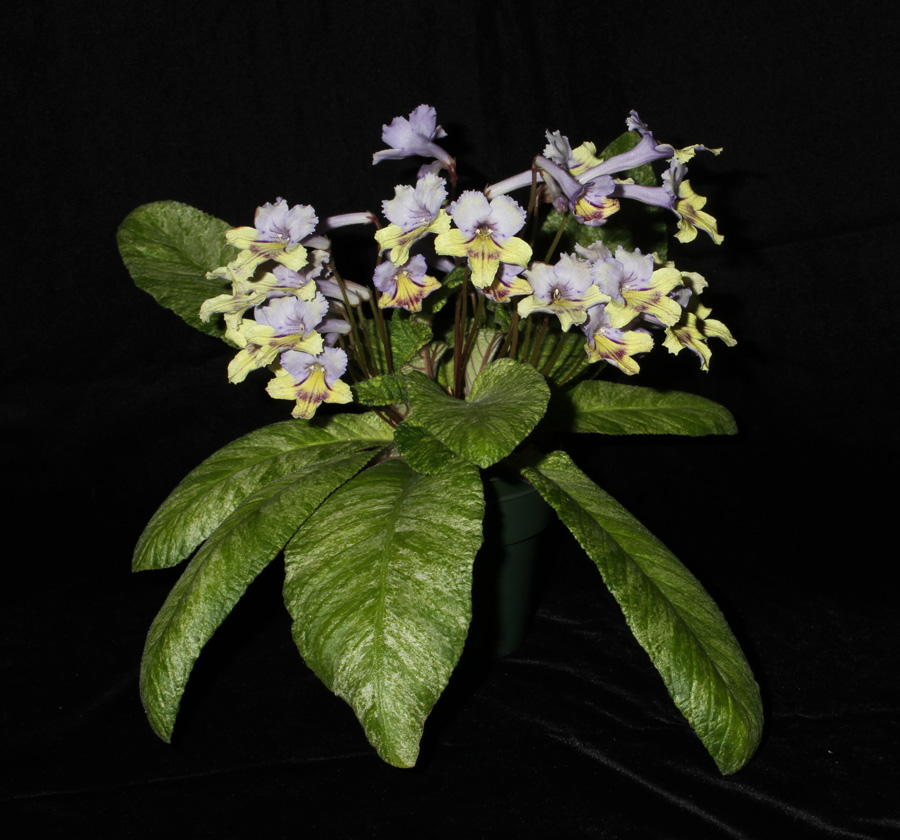 2014 Convention - Class 32 <i>Streptocarpus</i>, subgenus <i>Streptocarpus</i>, hybrids with variegated foliage - Awarded Best in Show, Special Award for Best Streptocarpus, and Best in Section D (Old World Gesneriad in Flower)