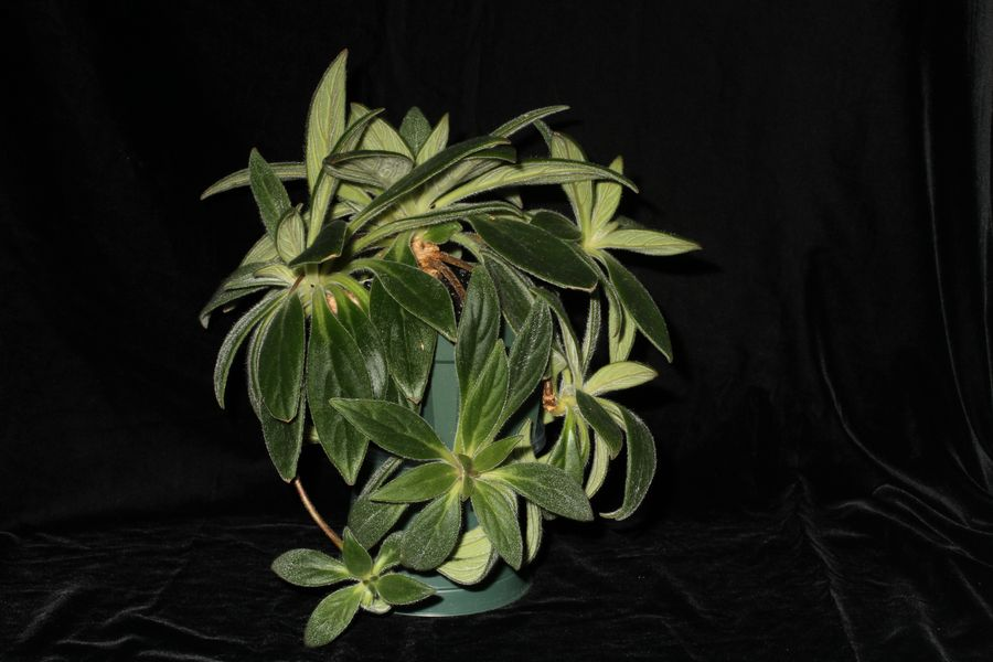2014 Convention - Gesneriads grown for ornamental qualities other than flowers - Class 36D <i>Primulina</i>