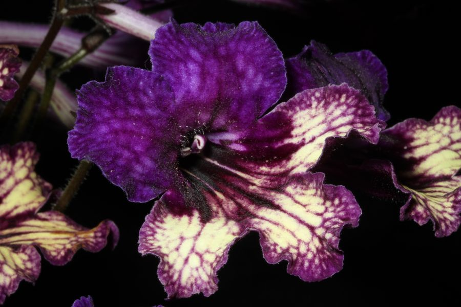 2014 Convention - New Gesneriads - Class 42 Hybrids or named cultivars in flower - Best in Section F (New Gesneriad)