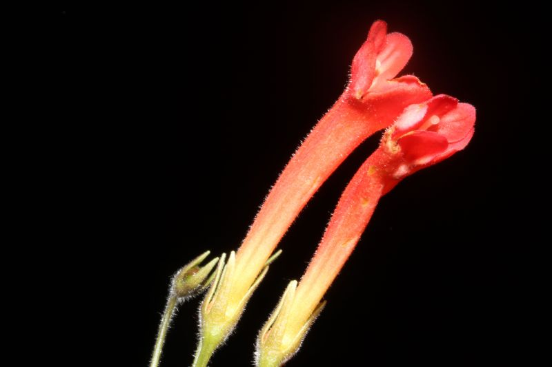 2015 Convention – New World Gesneriads in Flower – Tuberous - Class 2 other Sinningia species with rosette growth pattern<br> BEST IN SECTION A<br>BEST GESNERIAD SPECIES NATIVE TO BRAZIL