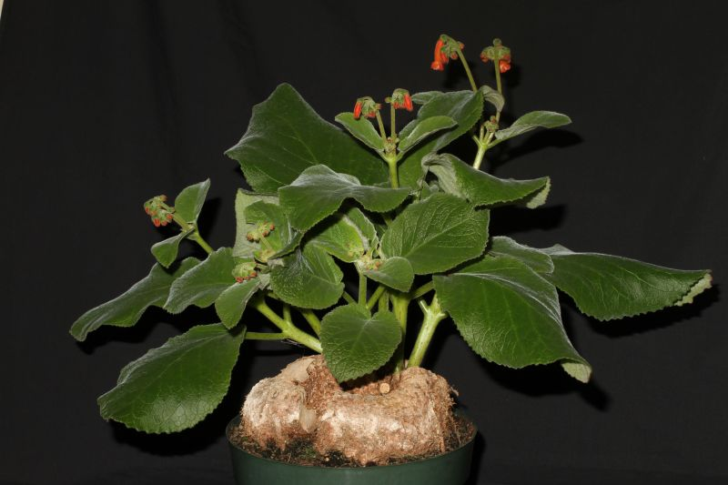 2015 Convention – New World Gesneriads in Flower – Tuberous - Class 3B Sinningia species with upright growth pattern<br>BEST SINNINGIA