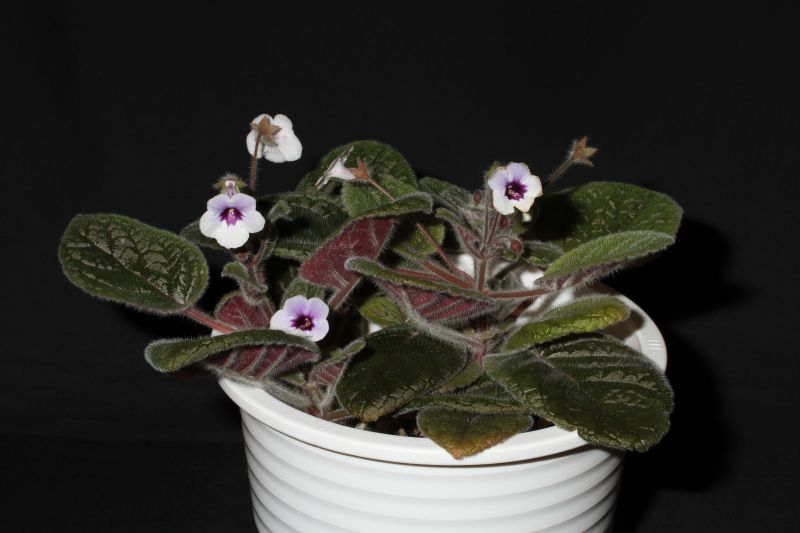 2015 Convention – New World Gesneriads in Flower – Tuberous - Class 4 Sinningia hybrids with rosette growth pattern