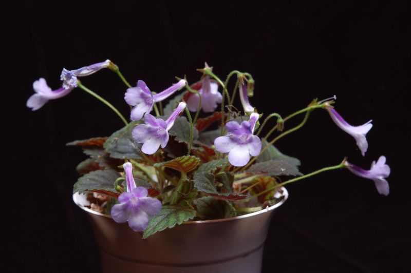 """2015 Convention – New World Gesneriads in Flower – Tuberous - Class 6 Sinningia species or hybrids (largest leaf less than 1"""" long)"""