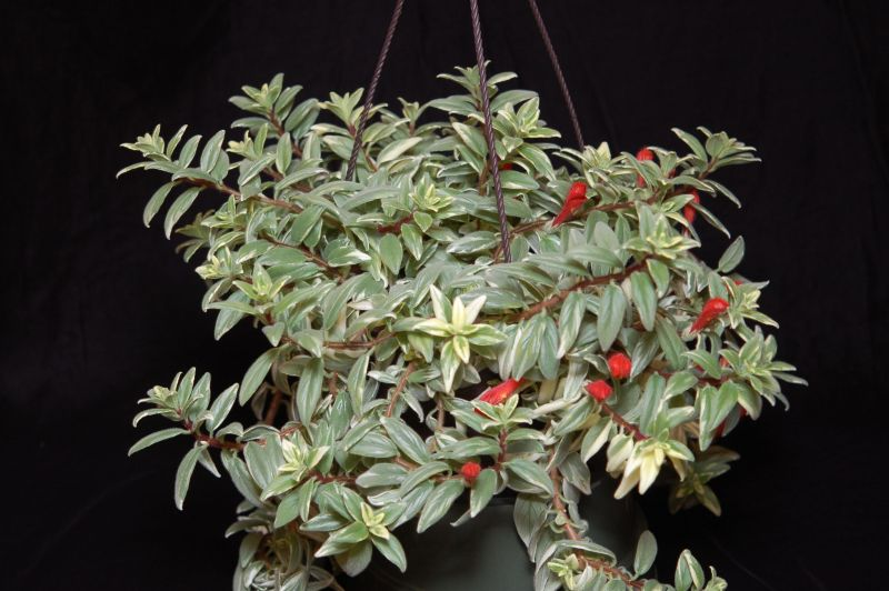 2015 Convention – New World Gesneriads in Flower – Fibrous-Rooted - Class 15 <i>Columnea</i>