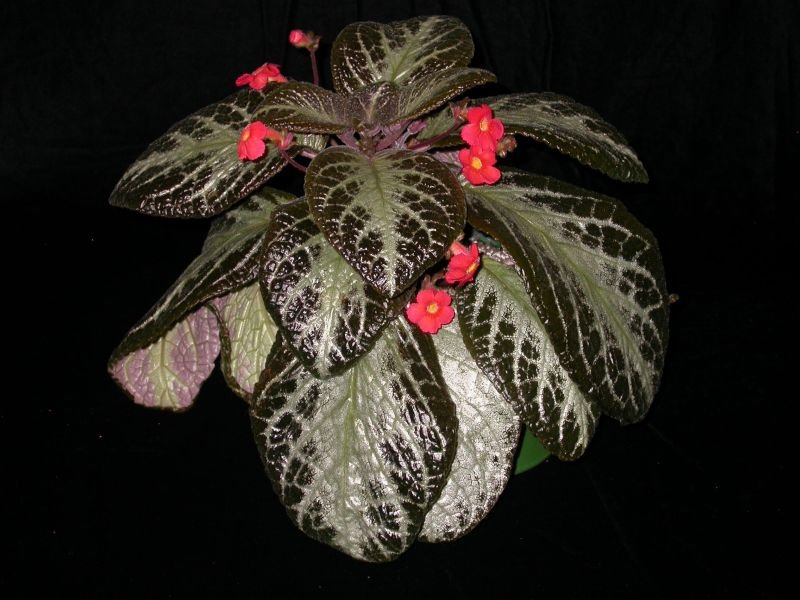 2015 Convention – New World Gesneriads in Flower – Fibrous-Rooted - Class 16 <i>Episcia, Alsobia</i><br> BEST IN SECTION C<br>BEST GESNERIAD SPECIES NATIVE TO ECUADOR