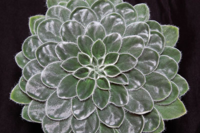 2015 Convention – New Gesneriads - Class 39B other old world gesneriads, species or hybrid<br>BEST PETROCOSMEA