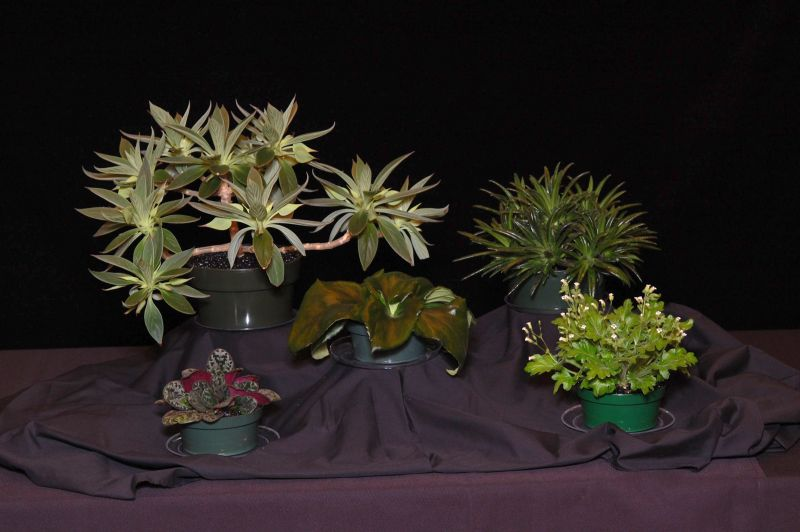 2015 Convention – Collections of Gesneriads - Class 49 Single genus<br> BEST IN SECTION J<br> BEST PRIMULINA <br>RUNNER-UP TO BEST IN SHOW