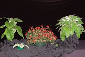2015 Convention – Collections of Gesneriads - Class 51 Multiple genera BEST IN SHOW Selection of Asian Genera exhibited by Bill Price
