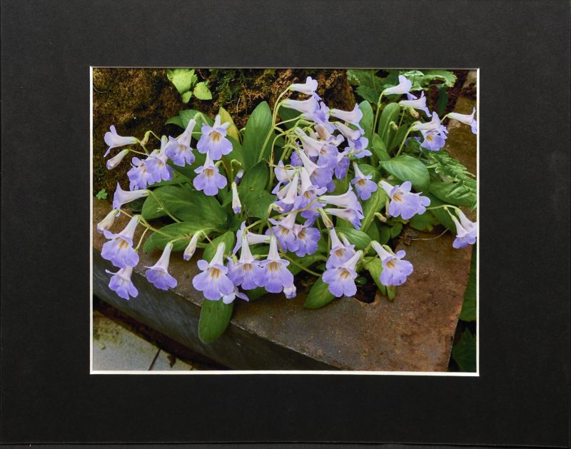 2015 Convention – Photography - Class 69B Color print of a whole gesneriad plant