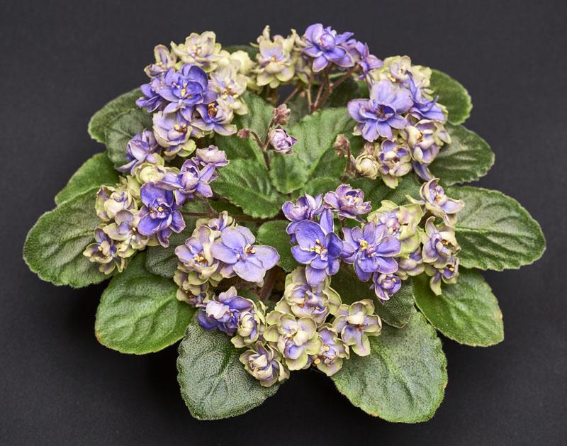 "2015 Convention – Old World Gesneriads in Flower – Class 26 <i>Saintpaulia</i> hybrids classified as semi-miniatures (maximum 8"" diameter)"