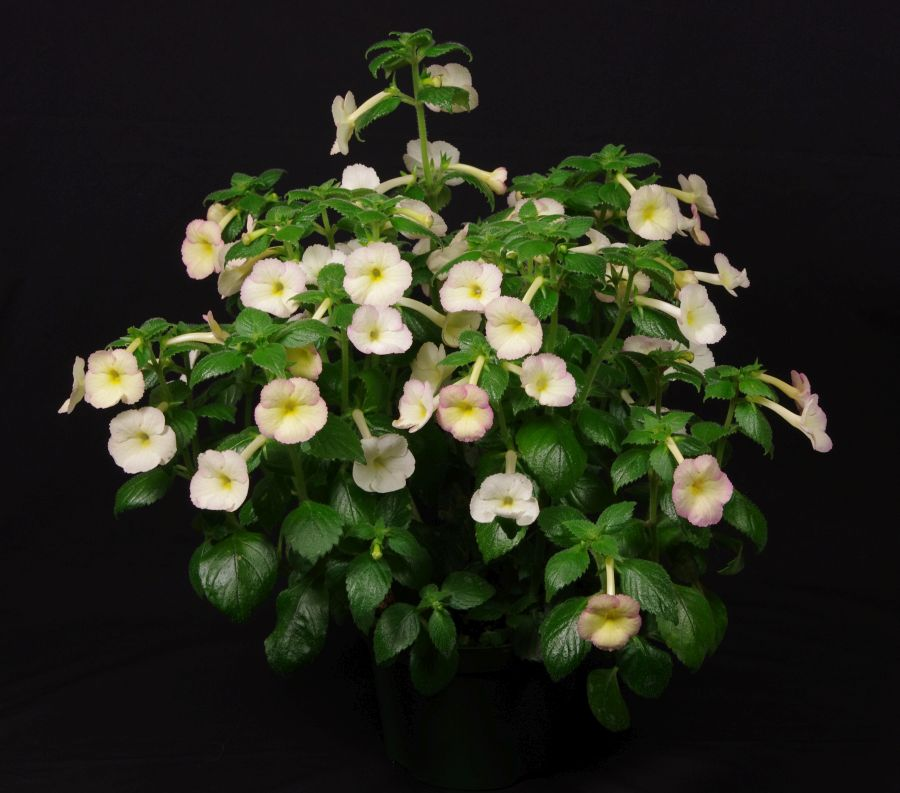 2016 Convention<br>New World Gesneriads in Flower – Rhizomatous<br>Class 8 <i>Achimenes, ×Achimenantha</i><br>BEST IN SECTION B – NEW WORLD RHIZOMATOUS GESNERIAD IN FLOWER<br>BEST ACHIMENES