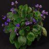 Webinar: Growing Saintpaulia Species with Dr; Jeff Smith