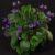 C16-D-24 -a Saintpaulia ionantha ssp grotei confusa_Carol Brown-rm-web