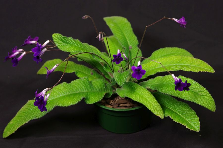 2016 Convention<br>Old World Gesneriads in Flower <br>Class 31B <i>Streptocarpus</i>, subgenus <i>Streptocarpus</i>, hybrids