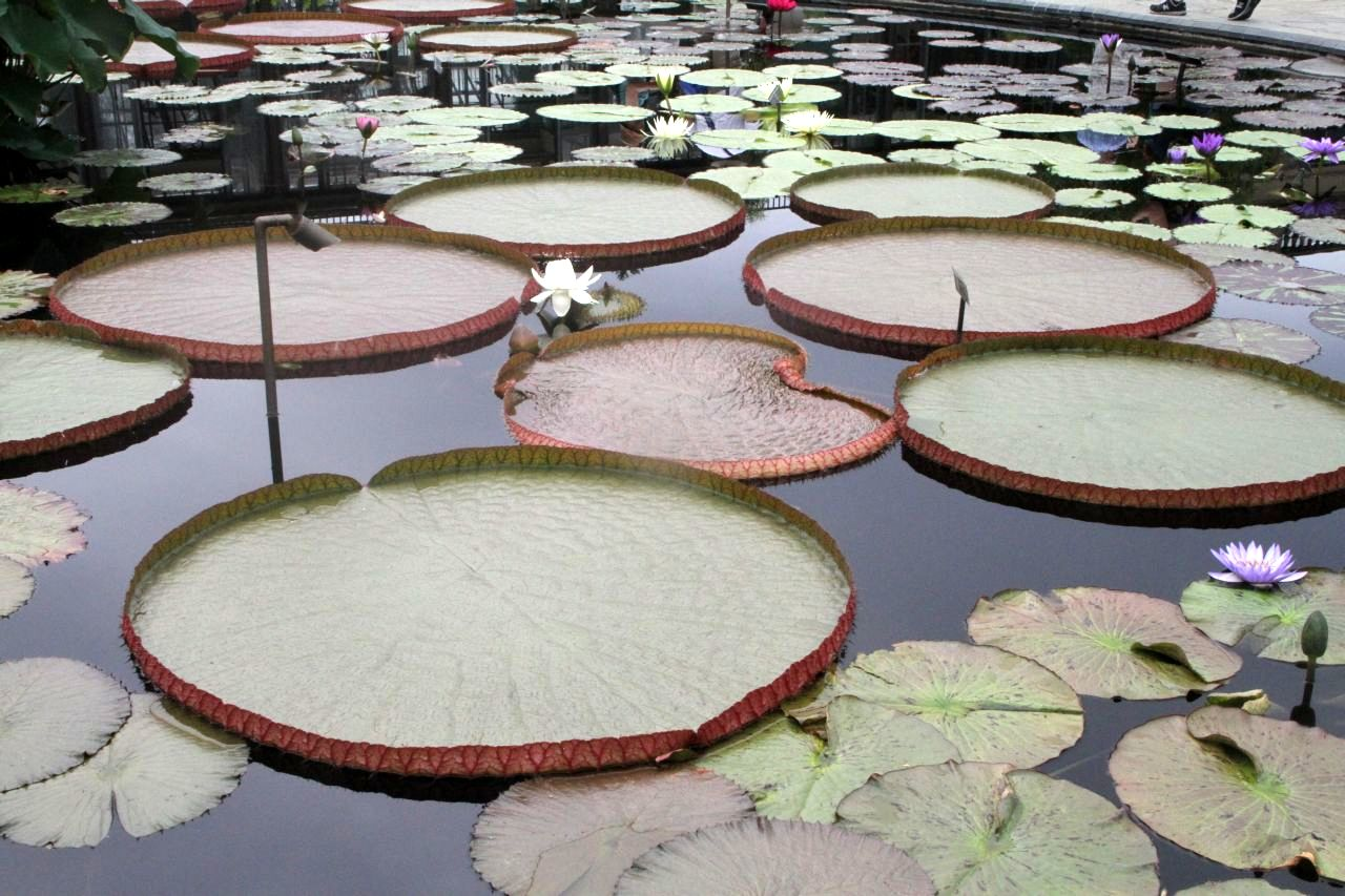 Victoria Water Lilies