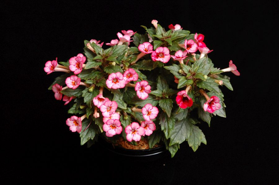 2017 Convention<br>New World Gesneriads in Flower – Rhizomatous<br> Class 8 <i>Achimenes, ×Achimenantha</i><br>RUNNER-UP TO BEST IN HORTICULTURE<br>BEST ACHIMENES<br> BEST IN SECTION B – NEW WORLD RHIZOMATOUS GESNERIAD IN FLOWER