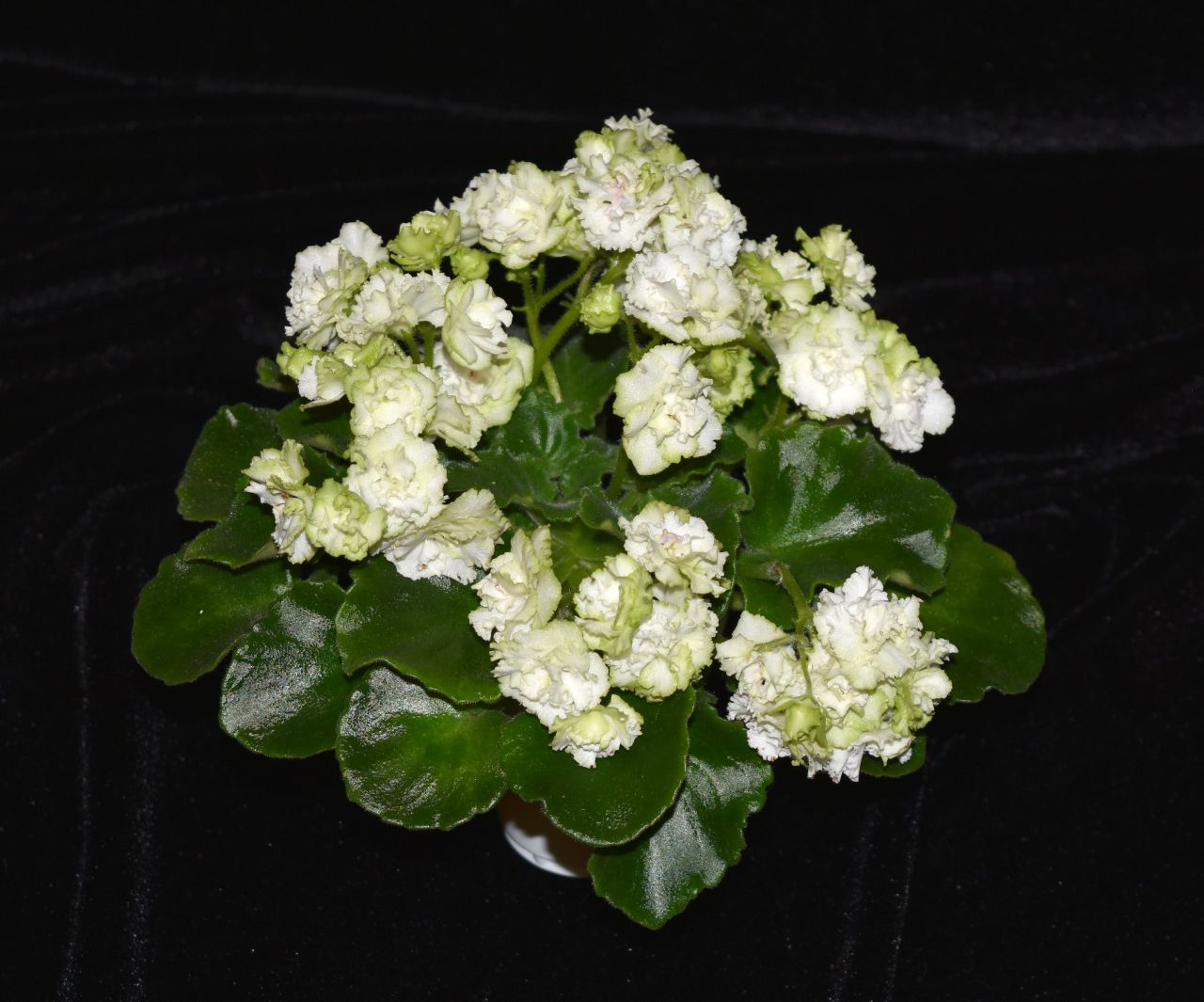 "2017 Convention<br>Old World African Gesneriads in Flower <br>Class 22A – <i>Saintpaulia</i> hybrids or cultivars classified as semi-miniatures (max of 8"" diameter)<br>BEST SAINTPAULIA HYBRID"