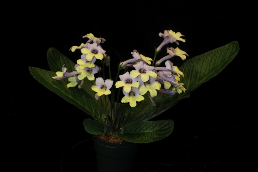 2017 Convention<br>Old World African Gesneriads in Flower <br>Class 27 – <i>Streptocarpus</i> subgenus <i>Streptocarpus</i>, hybrids<br>JUDGES AWARD OF MERIT