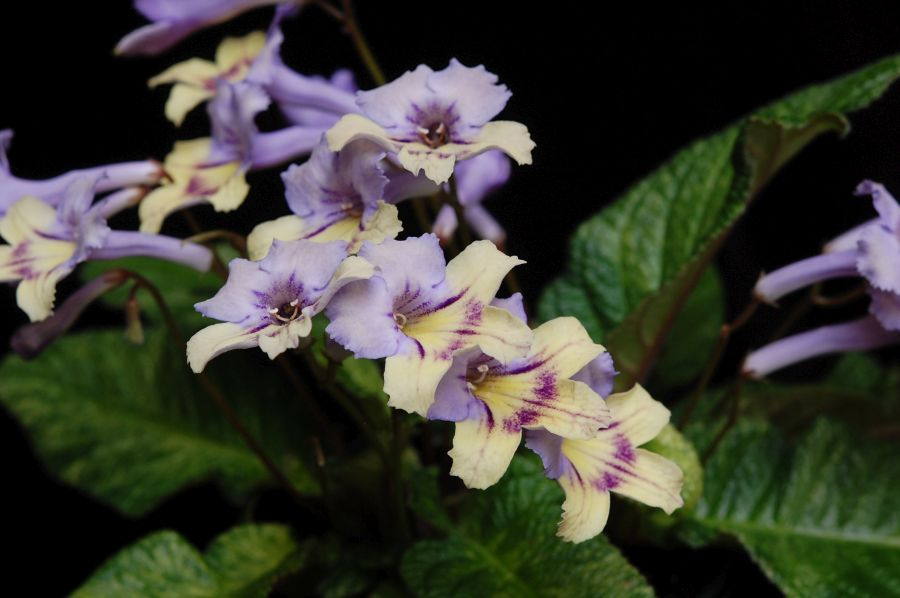 2017 Convention<br>Old World African Gesneriads in Flower <br>Class 27 – <i>Streptocarpus</i> subgenus <i>Streptocarpus</i>, hybrids<br>BEST DALE MARTENS HYBRID