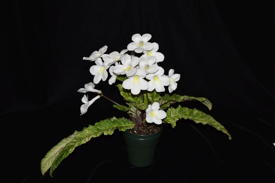 2017 Convention<br>Old World African Gesneriads in Flower <br>Class 27 – <i>Streptocarpus</i> subgenus <i>Streptocarpus</i>, hybrids<br>BEST STREPTOCARPUS HYBRID<br>BEST IN SECTION D – OLD WORLD AFRICAN GESNERIAD IN FLOWER