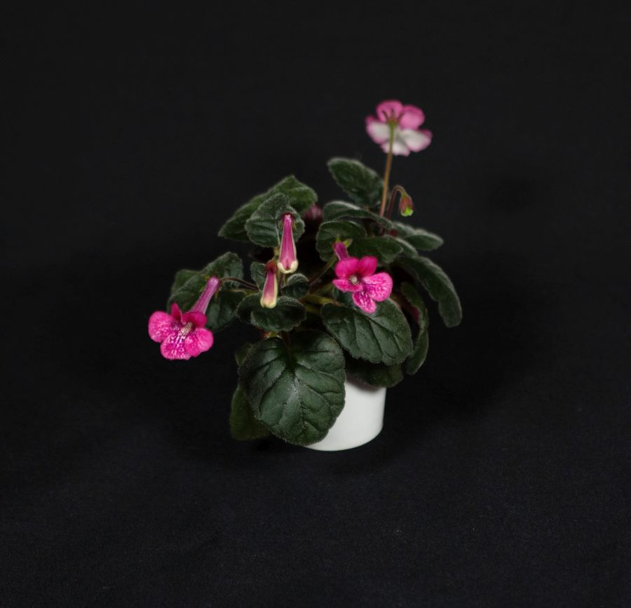 2018 Convention<br>New World Gesneriads in Flower – Tuberous<br>Class 4B Miniature <i>Sinningia</i> species and hybrids