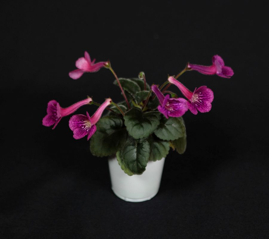 2018 Convention<br>New World Gesneriads in Flower – Tuberous<br>Class 4D Miniature <i>Sinningia</i> species and hybrids