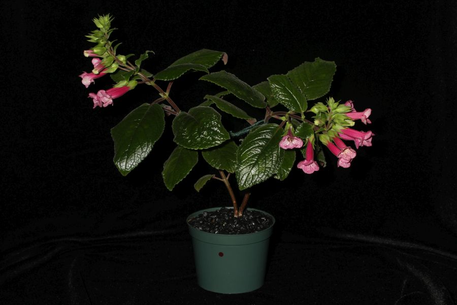 2018 Convention<br>New World Gesneriads in Flower – Tuberous<br>Class 6B Other <i>Sinningia</i> hybrids