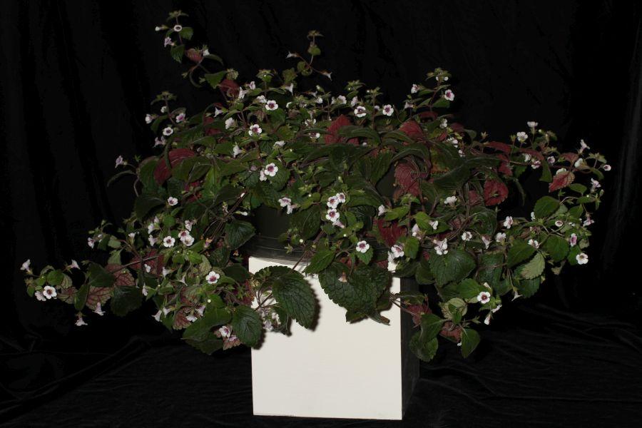2018 Convention<br>New World Gesneriads in Flower – Rhizomatous<br>Class 8 <i>Achimenes, ×Achimenantha</i><br>BEST ACHIMENES