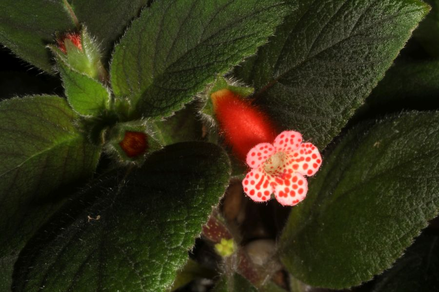 2018 Convention<br>New World Gesneriads in Flower – Rhizomatous<br>Class 9A <i>Kohleria</i>