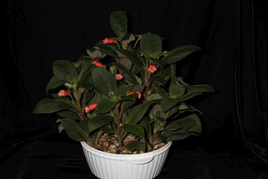 2018 Convention<br>New World Gesneriads in Flower – Rhizomatous<br>Class 9A <i>Kohleria</i>