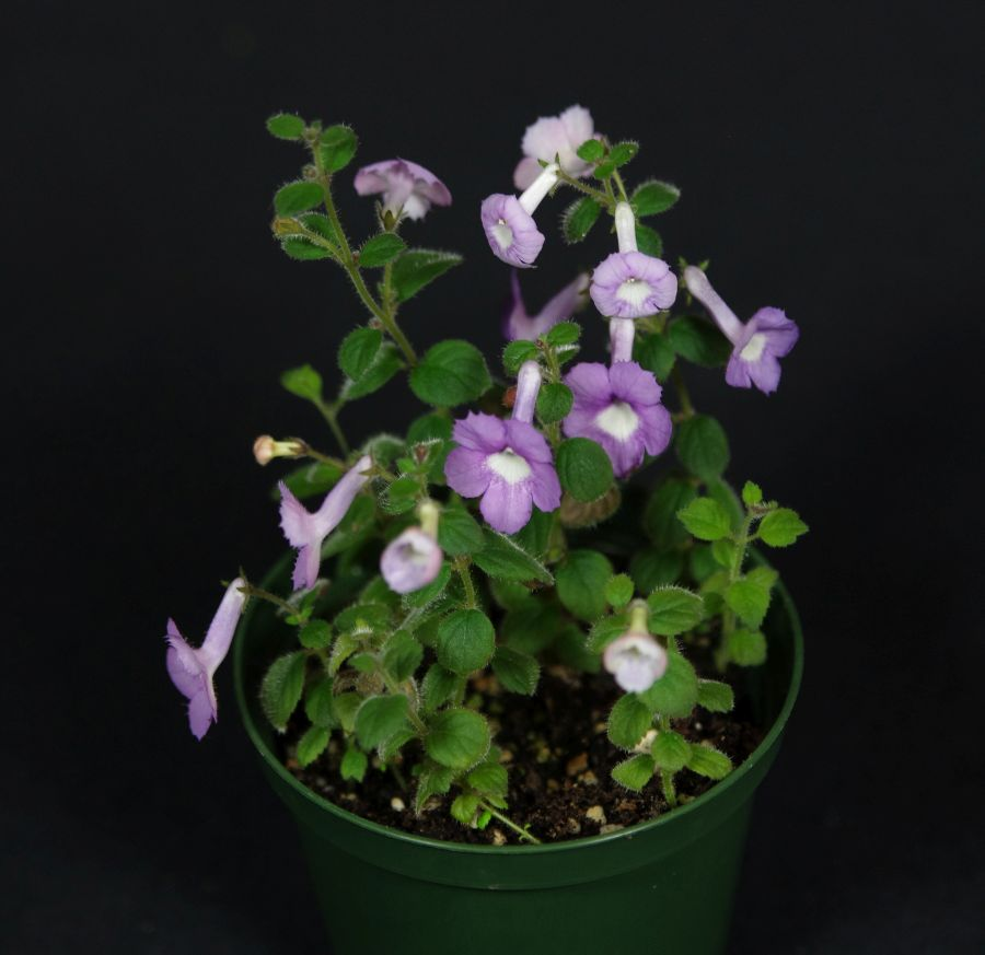 """2018 Convention<br>New World Gesneriads in Flower – Rhizomatous<br>Class 12 Other rhizomatous gesneriads less than 5"""" in all dimensions<br>RUNNER-UP TO BEST IN HORTICULTURE<br>BEST IN SECTION B – NEW WORLD RHIZOMATOUS GESNERIAD IN FLOWER<br>BEST SOUTH AMERICAN SPECIES OTHER THAN SINNINGIA"""