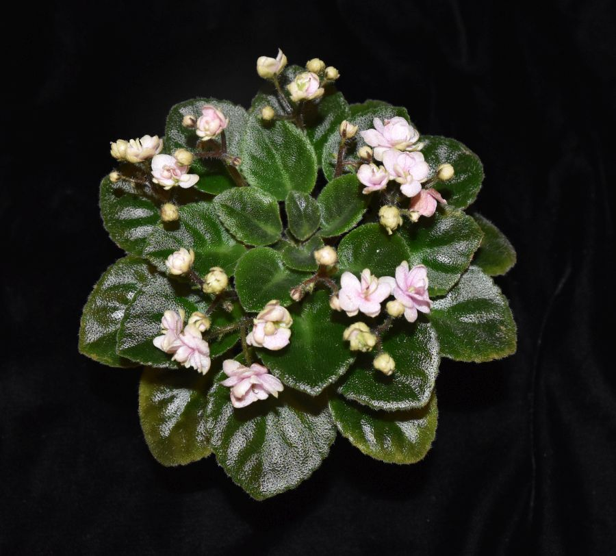 """2018 Convention<br>Old World Gesneriads in Flower<br>Class 28 – Sect. <i>Saintpaulia</i> hybrids with leaf span maximum 9"""" diameter"""