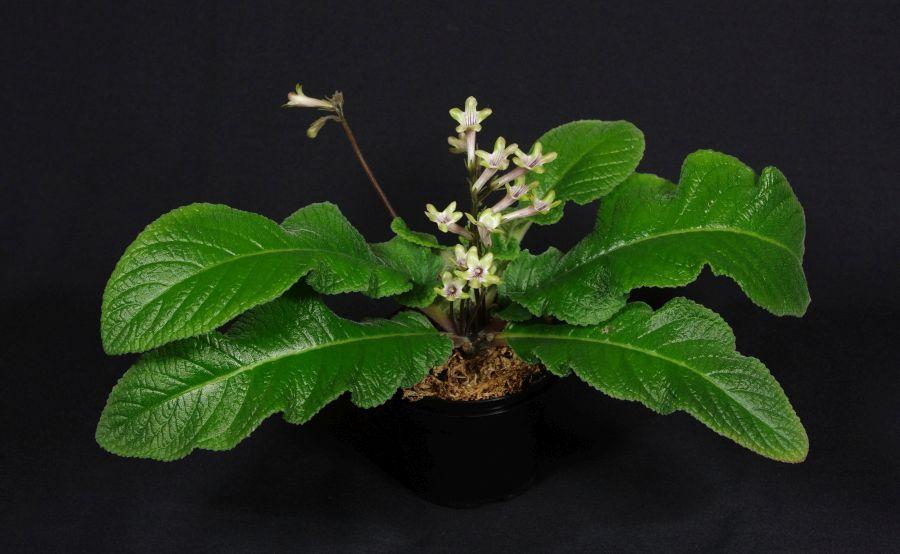 2018 Convention<br>Old World Gesneriads in Flower<br>Class 32A – <i>Streptocarpus</i>, subgenus <i>Streptocarpus</i>, hybrids<br>BEST STREPTOCARPUS