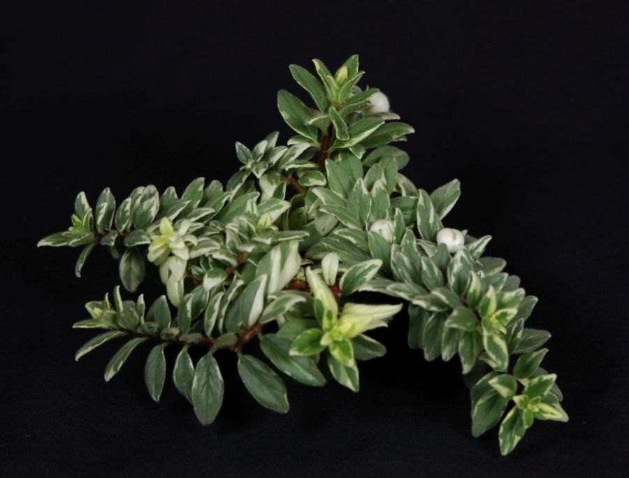 2018 Convention<br>Gesneriads Grown for Ornamental Qualities Other Than Flowers<br>Class 38 – Other gesneriads with variegated foliage<br>BEST GESNERIAD EXHIBITING FRUIT