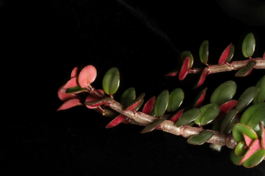2018 Convention<br>Lesser-Known Gesneriads Seldom Grown or Seen in Shows<br>Class 46 – Not in flower<br>BEST COLUMNEA