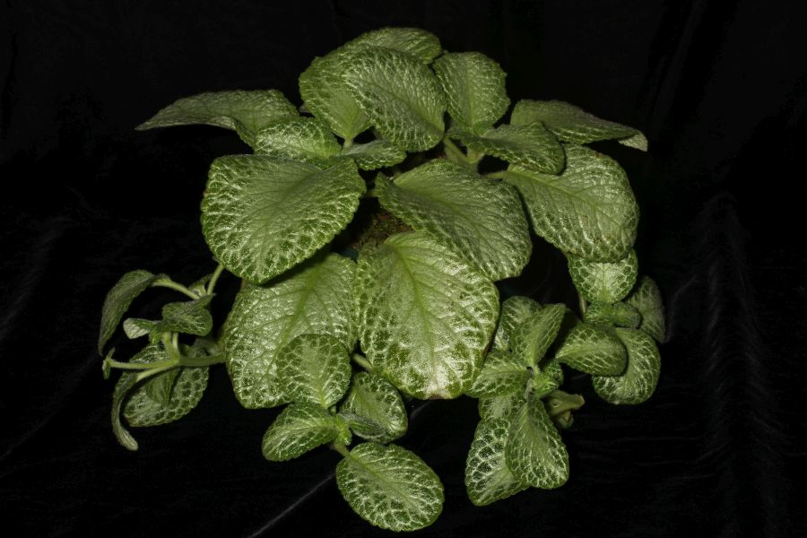 2018 Convention<br>Gesneriads Grown by a Novice<br>Class 49 – Grown for Ornamental Qualities Other Than Flowers