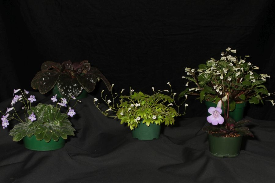 2018 Convention<br>Collections of Gesneriads<br>Class 50 – Plants of a single genus either species, cultivars or hybrids<br>BEST IN THE HORTICULTURE DIVISION<br>BEST IN SECTION J – COLLECTION OF GESNERIADS