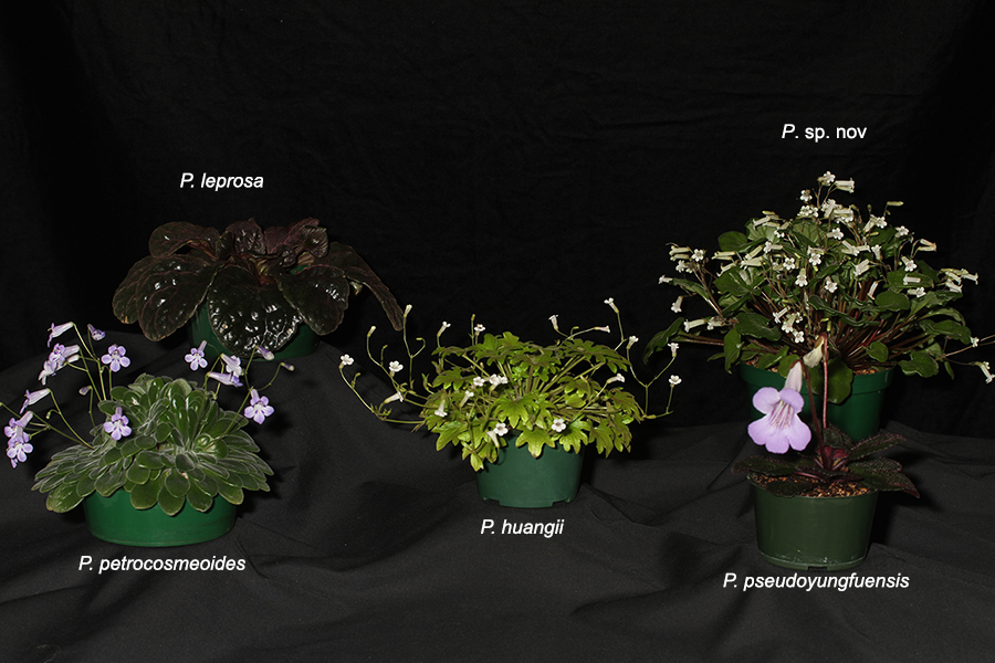 Class 502018 Convention<br>Collections of Gesneriads<br>Class 50 – Plants of a single genus either species, cultivars or hybrids<br>BEST IN THE HORTICULTURE DIVISION<br>BEST IN SECTION J – COLLECTION OF GESNERIADS Prim Coll_labeled_JMH