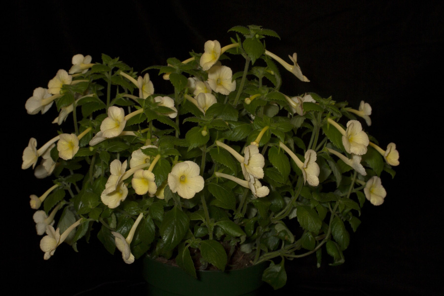 2019 Convention <br>New World Gesneriads in Flower – Rhizomatous <br>Class 8 <i>Achimenes, ×Achimenantha</i> <br>BEST ACHIMENES