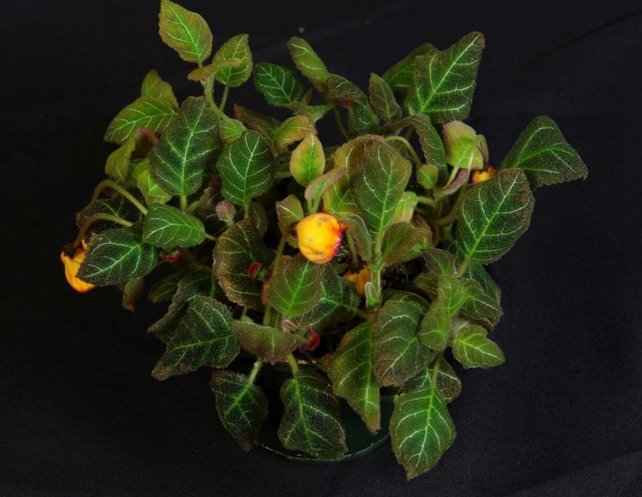 2019 Convention <br>New World Gesneriads in Flower – Rhizomatous <br>Class 13 Other rhizomatous gesneriads
