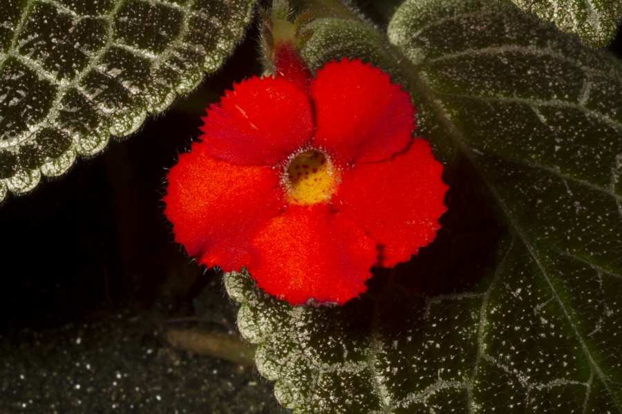 2019 Convention <br>New World Gesneriads in Flower – Fibrous-Rooted <br>Class 16 <i>Episcia, Alsobia</i>