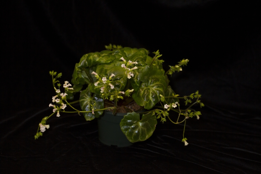 2019 Convention <br>Old World Gesneriads in Flower  <br>Class 23 – <i>Primulina</i> species <br>JUDGES AWARD OF MERIT